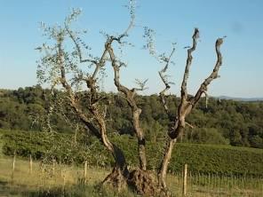 olivi recuperati berardenga