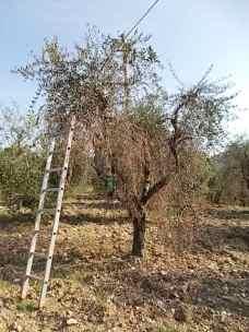 recupero olivi danneggiati dal gelo (1)