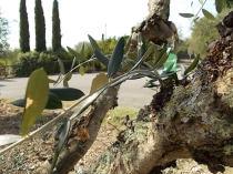 recupero olivi danneggiati dal gelo (10)