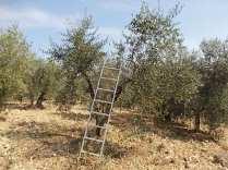 recupero olivi danneggiati dal gelo (11)