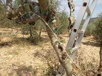 recupero olivi danneggiati dal gelo (15)