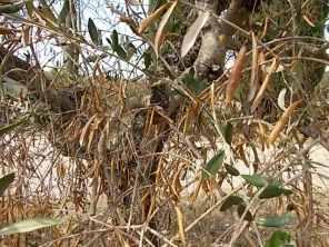 recupero olivi danneggiati dal gelo (17)