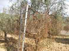 recupero olivi danneggiati dal gelo (19)