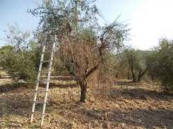 recupero olivi danneggiati dal gelo (2)