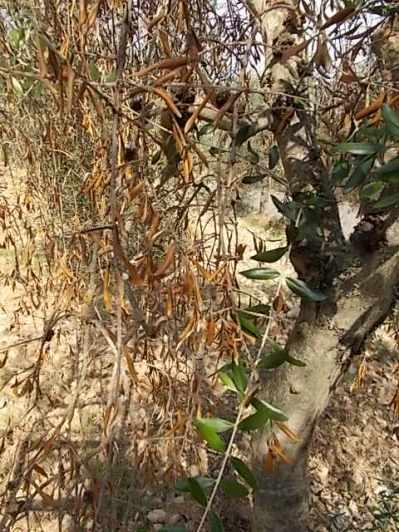 recupero olivi danneggiati dal gelo (20)