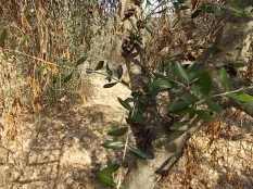recupero olivi danneggiati dal gelo (21)