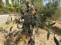 recupero olivi danneggiati dal gelo (5)