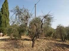 recupero olivi danneggiati dal gelo (6)