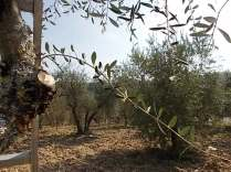recupero olivi danneggiati dal gelo (7)