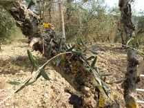 recupero olivi danneggiati dal gelo (8)