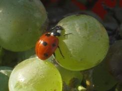 selezione-malvasia-bianca-da-appassire-lentamente-per-fare-il-vinsanto-2014-2