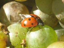 selezione-malvasia-bianca-da-appassire-lentamente-per-fare-il-vinsanto-2014-7