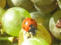 selezione-malvasia-bianca-da-appassire-lentamente-per-fare-il-vinsanto-2014-9