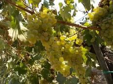 vertine scelta uva vinsanto (1)