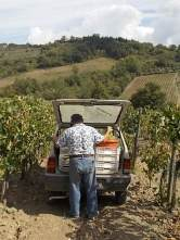 vertine scelta uva vinsanto (10)