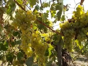 vertine scelta uva vinsanto (2)