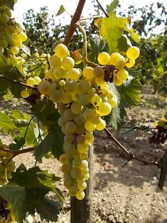 vertine scelta uva vinsanto (3)
