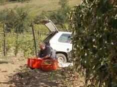 vertine scelta uva vinsanto (4)