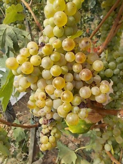 vertine scelta uva vinsanto (5)