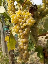 vertine scelta uva vinsanto (7)