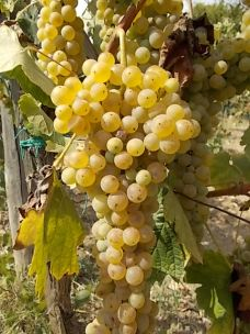 vertine scelta uva vinsanto (8)