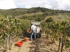 vertine scelta uva vinsanto (9)