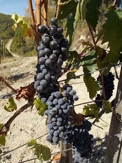 vertine vendemmia 2018 (10)