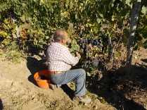 vertine vendemmia 2018 (25)