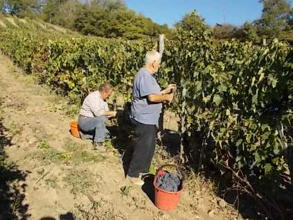 vertine vendemmia 2018 (26)