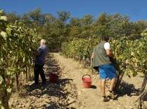 vertine vendemmia 2018 (29)