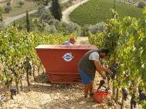 vertine vendemmia 2018 (5)