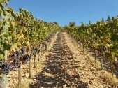 vertine vendemmia 2018 (7)