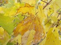 autunno foglie vite rondine amata (1)