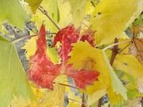 autunno foglie vite rondine amata (11)