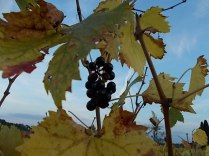 autunno foglie vite rondine amata (13)