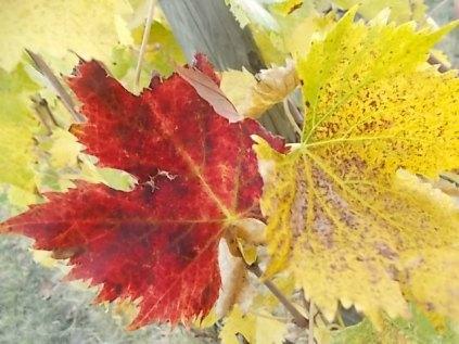 autunno foglie vite rondine amata (15)