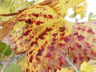 autunno foglie vite rondine amata (18)