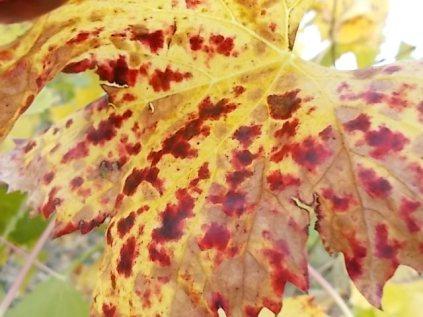 autunno foglie vite rondine amata (19)