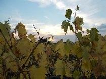 autunno foglie vite rondine amata (2)