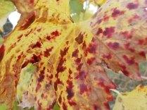 autunno foglie vite rondine amata (20)