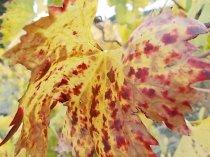 autunno foglie vite rondine amata (21)