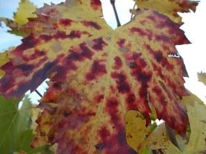 autunno foglie vite rondine amata (22)