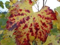 autunno foglie vite rondine amata (24)