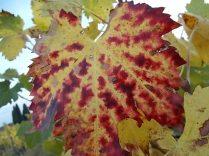 autunno foglie vite rondine amata (25)