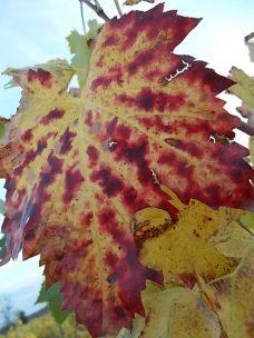 autunno foglie vite rondine amata (26)