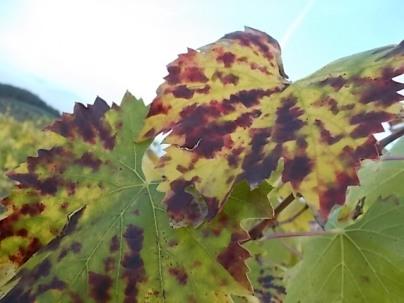 autunno foglie vite rondine amata (28)