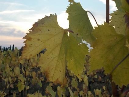 autunno foglie vite rondine amata (3)