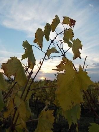 autunno foglie vite rondine amata (4)