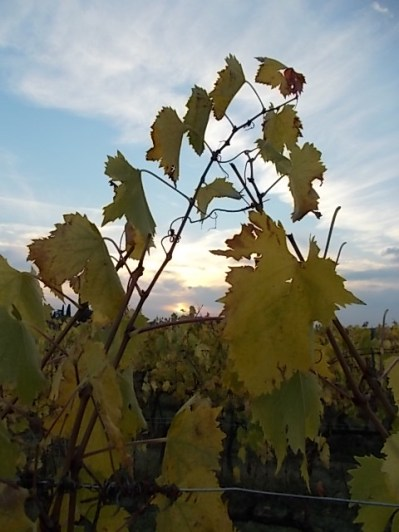 autunno foglie vite rondine amata (5)