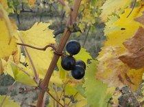 autunno foglie vite rondine amata (8)